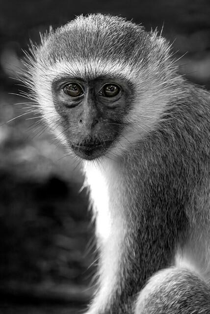 VERVET MONKEY (Grüne Meerkatze)   Kenya