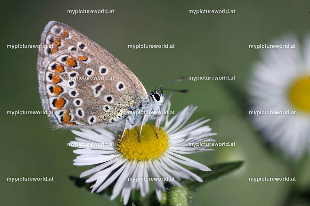 Polyommatus icarus-009