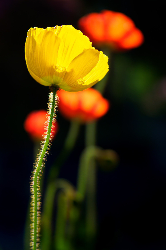 Gelbe Mohnblüte - Papaver | Gelbe Mohnblüte im Gegenlicht (Papaver).
