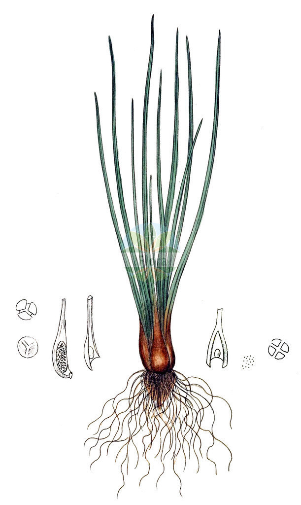 Isoetes lacustris (See-Brachsenkraut - Quillwort)   Historische Abbildung von Isoetes lacustris (See-Brachsenkraut - Quillwort). Das Bild zeigt Blatt, Bluete, Frucht und Same. ---- Historical Drawing of Isoetes lacustris (See-Brachsenkraut - Quillwort).The image is showing leaf, flower, fruit and seed.