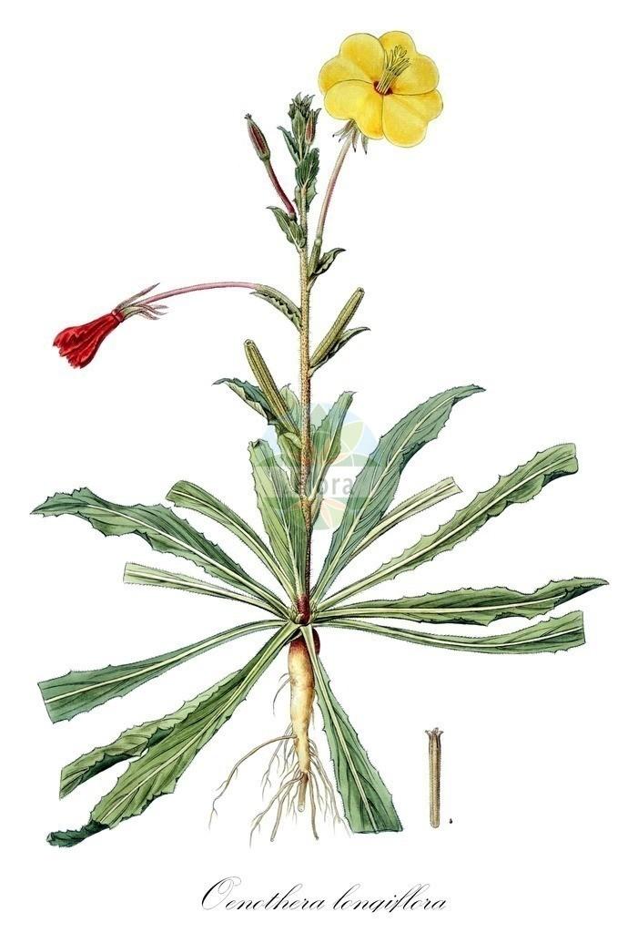 Historical drawing of Oenothera longiflora (Evening-primroses) | Historical drawing of Oenothera longiflora (Evening-primroses) showing leaf, flower, fruit, seed