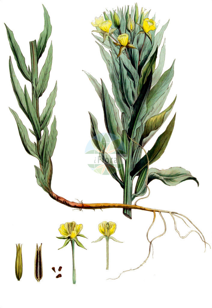 Oenothera biennis (Gewoehnliche Nachtkerze - Common Evening-primrose) | Historische Abbildung von Oenothera biennis (Gewoehnliche Nachtkerze - Common Evening-primrose). Das Bild zeigt Blatt, Bluete, Frucht und Same. ---- Historical Drawing of Oenothera biennis (Gewoehnliche Nachtkerze - Common Evening-primrose).The image is showing leaf, flower, fruit and seed.