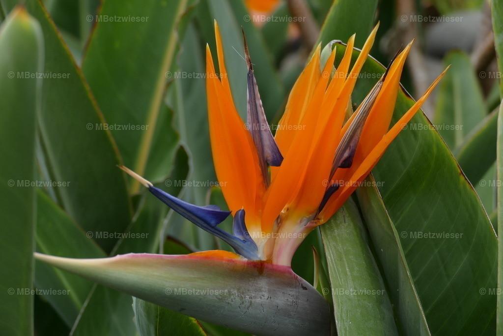 P1010315 | Strelitzien - die Blume der Kanaren