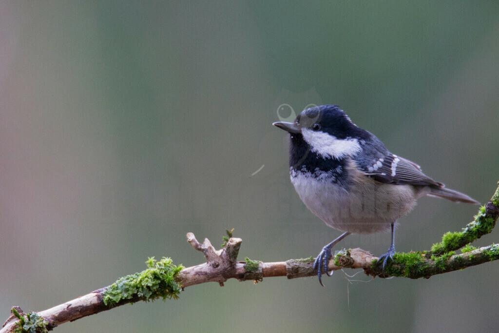 20140126_160620 Kopie   Die Tannenmeise ist eine Vogelart in der Familie der Meisen. In Mitteleuropa ist die Tannenmeise ein verbreiteter und sehr häufiger Brut- und Jahresvogel.