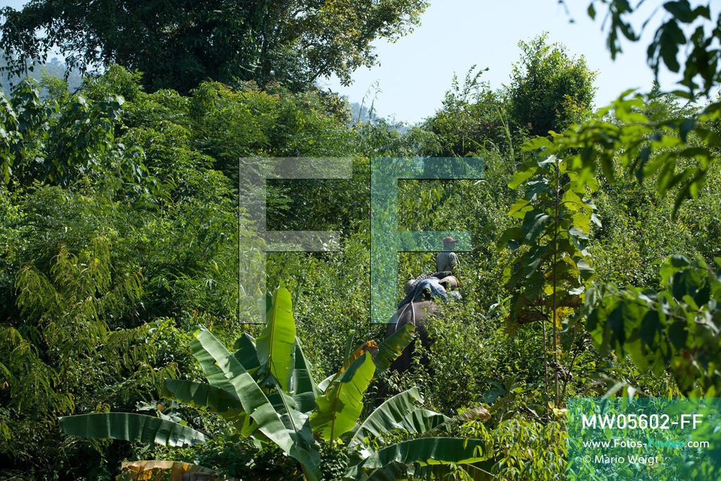 MW05602-FF | Laos | Provinz Sayaboury | Reportage: Arbeitselefanten in Laos | Mahut auf seinem Arbeitselefanten reitet in den Dschungel.  Lane Xang -