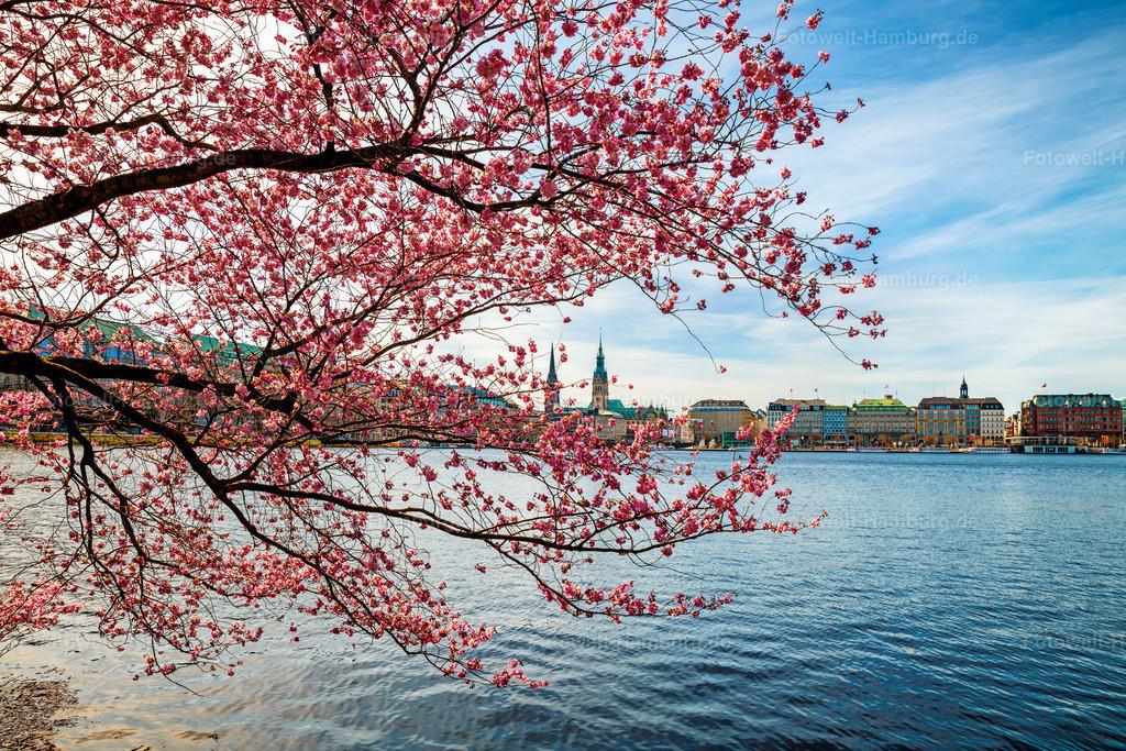 10210401 - Kirschblüten an der Alster III | Jedes Jahr ein Highlight zum Frühlingsanfang sind die farbenfrohen Kirschblüten an der Alster in Hamburg.