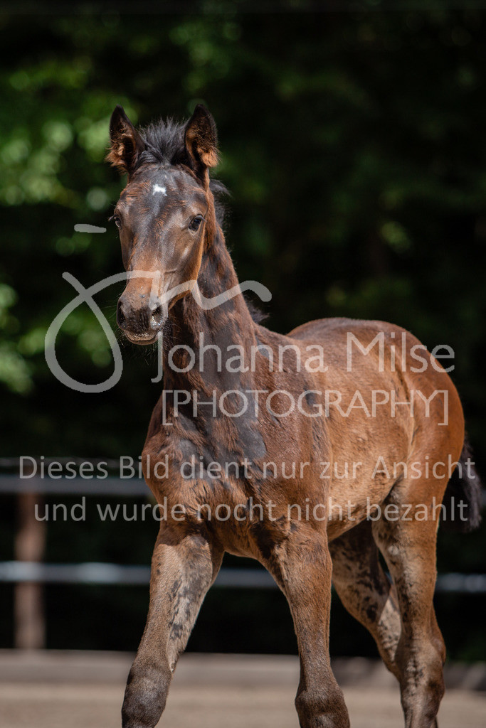 190703_Fohlenschau_WuC-098   Holsteiner Fohlenschau 2019 - Stutfohlen