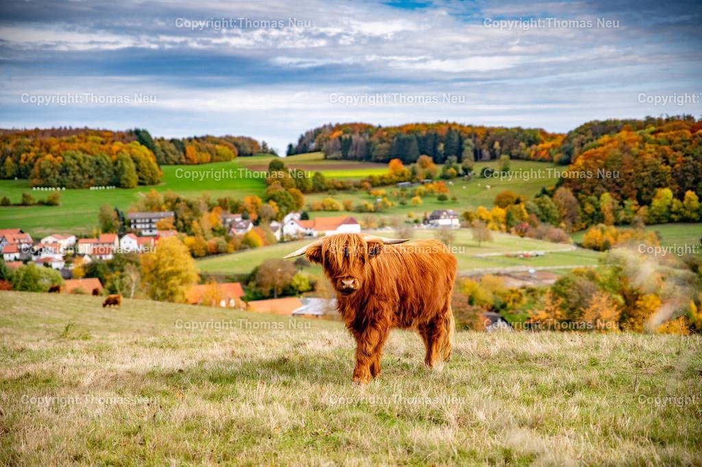 DSC_9452 | bli,Lautertal, Herbst, goldener Oktober hier zwischen Kolmbach und Raidelbach,  im Vordergrund grasende schottische Hochlandrinder, der Eindruck einer Modelleisenbahnlandschaft, Idylle, Odenwald, Highland Cattle, Kyloe, Bild: Thomas Neu