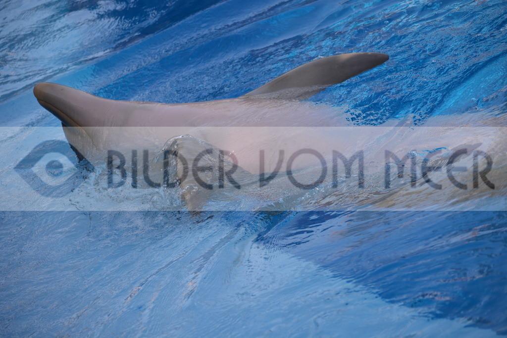 Delfin Bilder   Foto verspielter Delfin 6 Spanien
