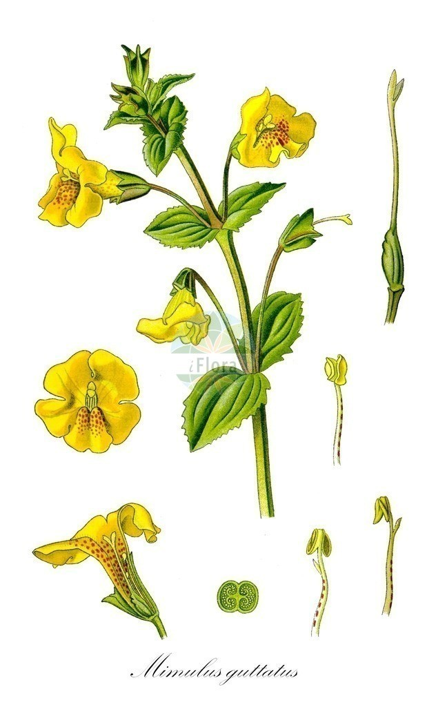 Historical drawing of Mimulus guttatus (Blood-drop-Emlets) | Historical drawing of Mimulus guttatus (Blood-drop-Emlets)