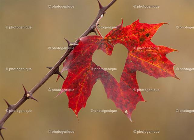 Rotes Herzblatt | Rotes Laub-Blatt mit Herz-förmigem Ausschnitt hängt an einem Stachel-Zweig vor einem hellbraunen Hintergrund bei Tageslicht