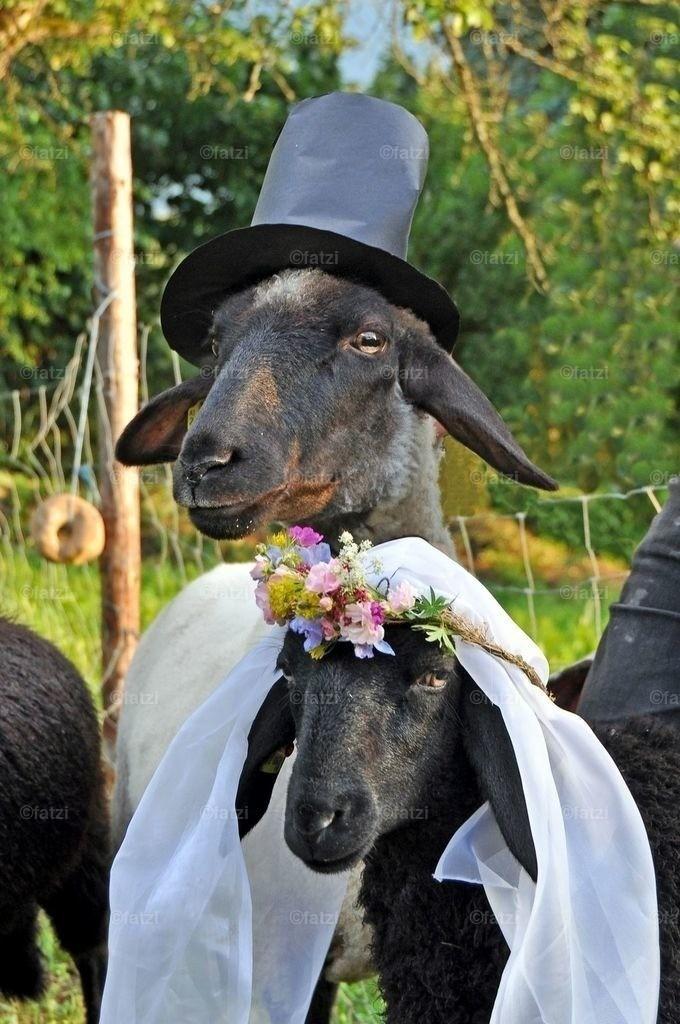 Schafe-Hochzeit-Jun12_035k_1