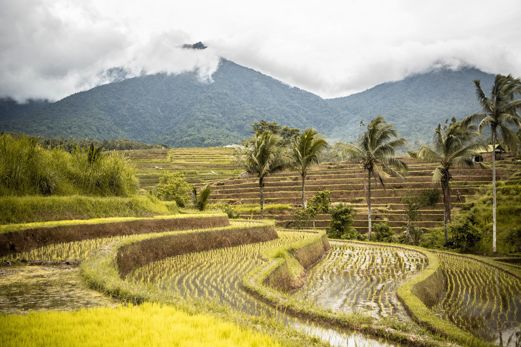 Rice field mountains