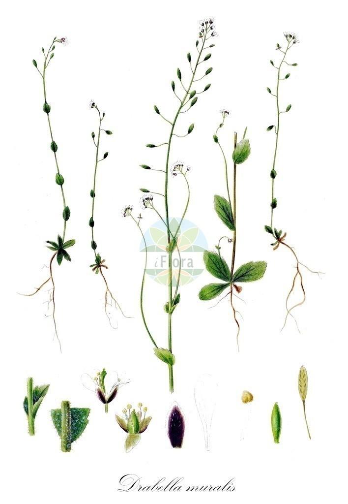 Historical drawing of Drabella muralis (Wall Whitlowgrass) | Historical drawing of Drabella muralis (Wall Whitlowgrass) showing leaf, flower, fruit, seed