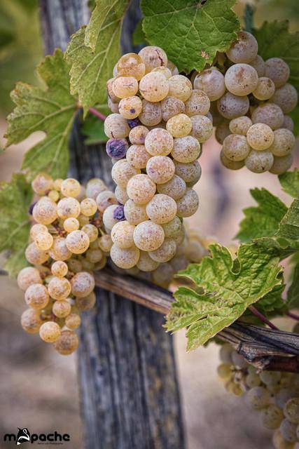 Weintrauben-1