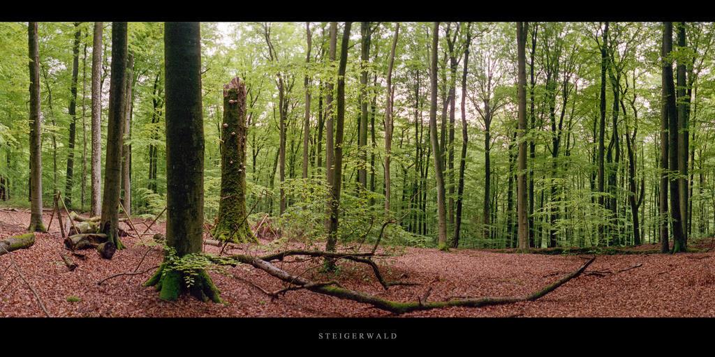 Buchenwald Steigerwald | Buchen im Buchenwald Steigerwald