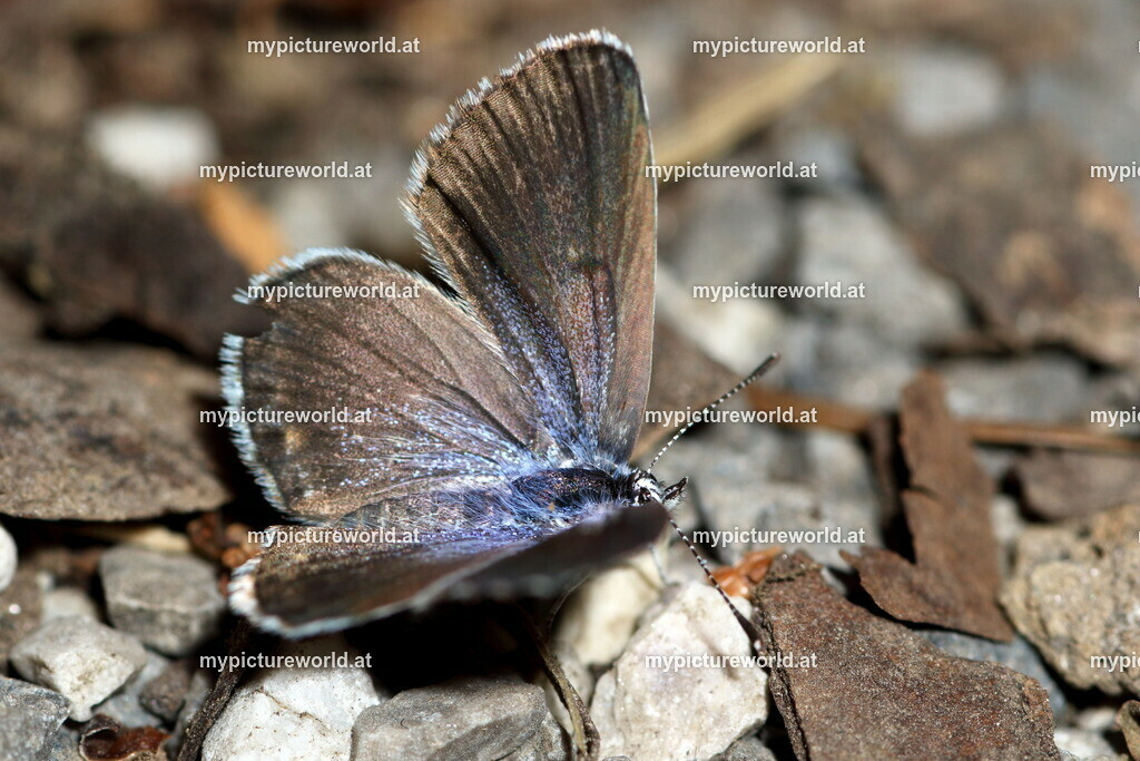 Pseudophilotes vicrama-004