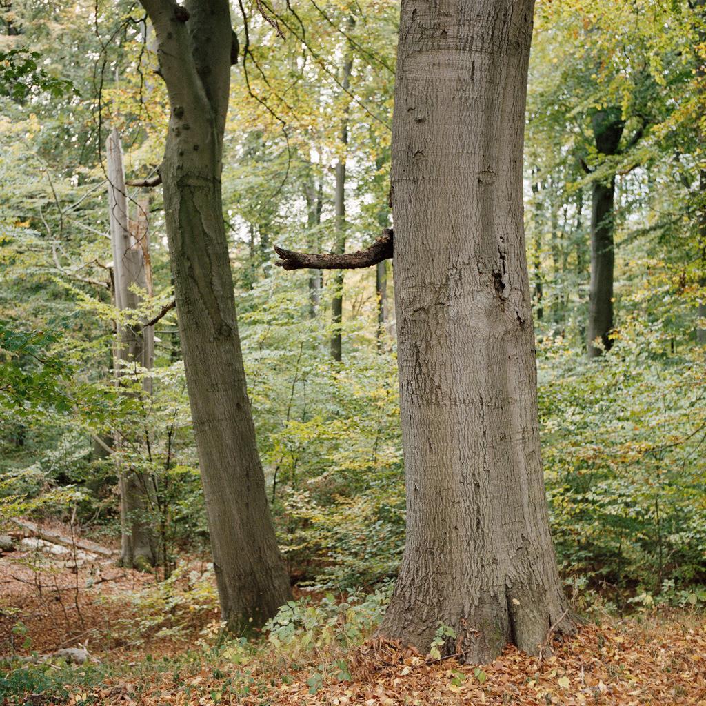 Buche Fauler Ort   Buche am Faulen Ort im Melzower Forst, Teil des Biosphärenreservats Schorfheide-Chorin