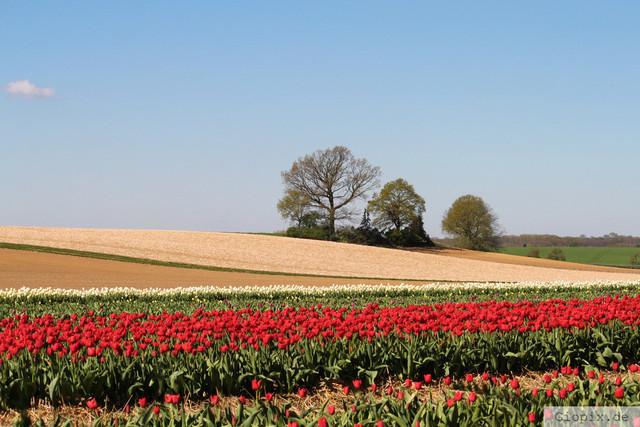 Tulpenfeld bei Kapellen | Tulpenfeld zwischen Kapellen und Korschenbroich