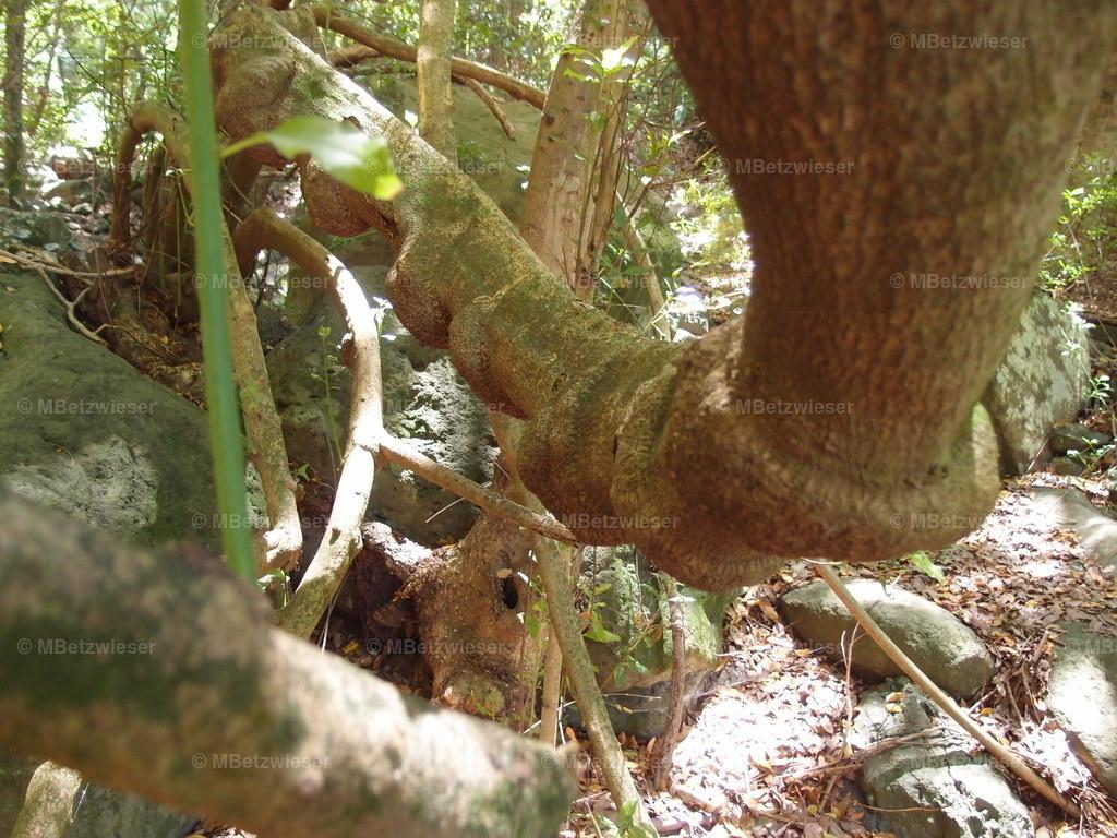 P6286048   Baum mit Fehlbildung