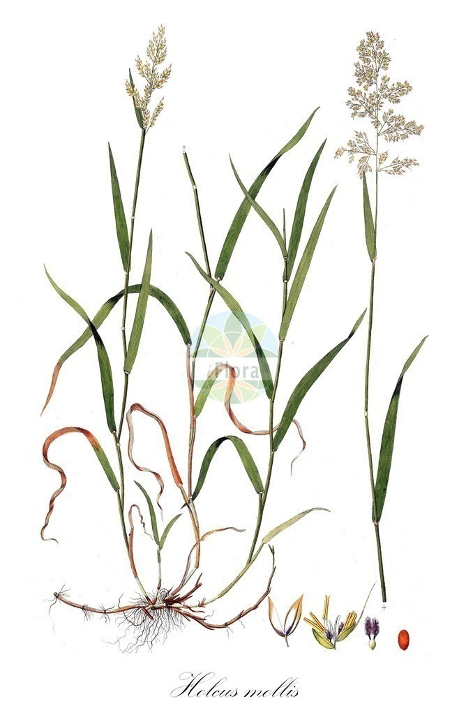 Historical drawing of Holcus mollis (Creeping Soft-grass) | Historical drawing of Holcus mollis (Creeping Soft-grass) showing leaf, flower, fruit, seed