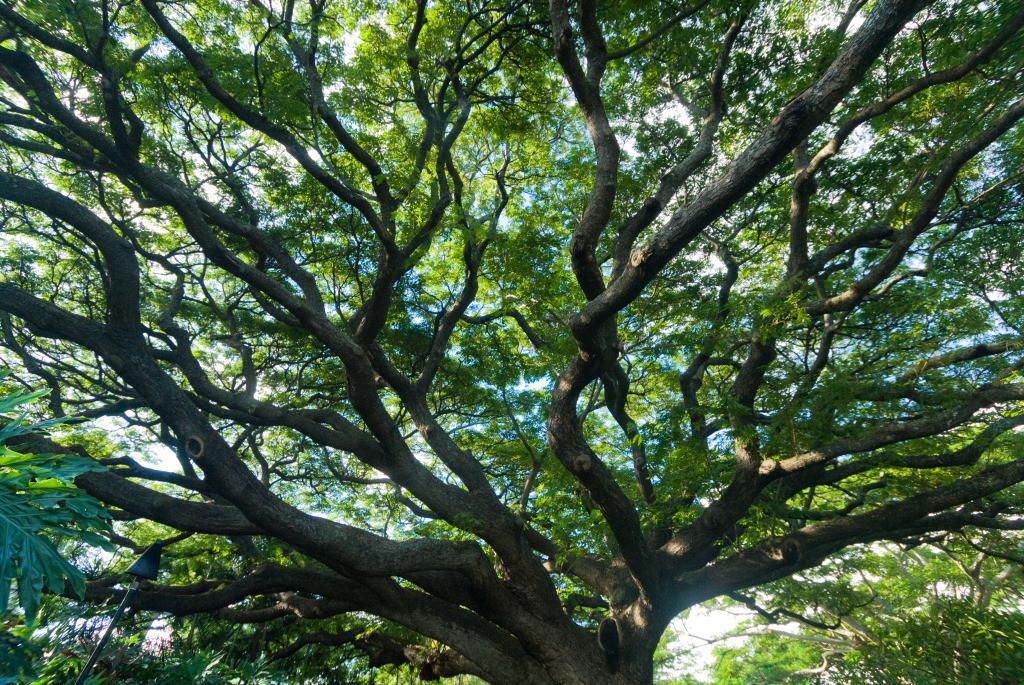 Best. Nr. holz15   Ausladende Krone eines Regenbaums (Samanea saman)   Das Element Holz steht in Verbindung mit dem Frühling, seine Farbe ist grün, seine Himmelsrichtung der Osten. Es repräsentiert Wachstum, daher kommen zur Unterstützung vor allem Bilder von Bäumen, und anderen Pflanzen in Frage, vorwiegend im Hochformat. Die Motive eignen sich für den privaten Bereich genauso wie z.B. für die Ausstattung von Arztpraxen, Kliniken oder Therapiepraxen.