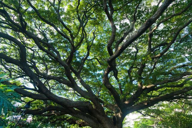 Holz 15   Regenbaum