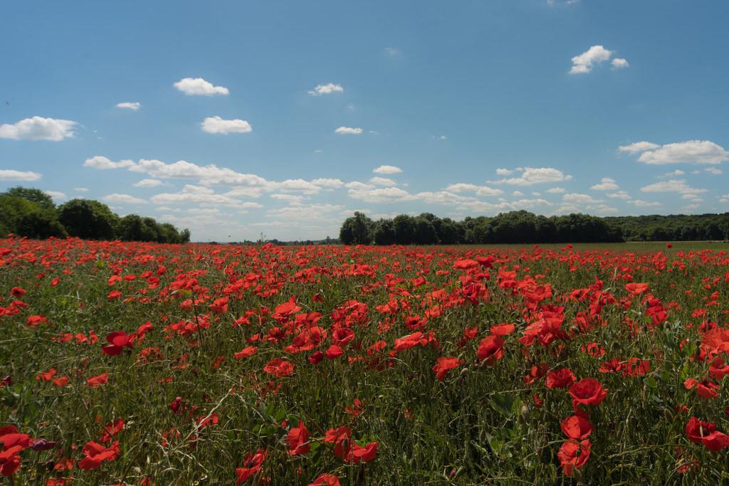 Poppy field in summer   Poppy field in summer