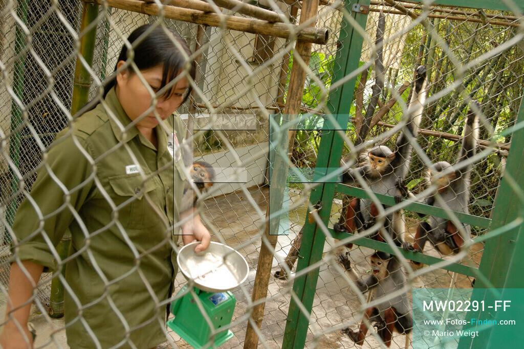 MW02291-FF   Vietnam   Provinz Ninh Binh   Reportage: Endangered Primate Rescue Center   Tierpflegerin mit Waage in der Aufzuchtstation für Affenbabys. Hier werden die Rotgeschenkligen Kleideraffen einmal am Tag gewogen. Der Deutsche Tilo Nadler leitet das Rettungszentrum für gefährdete Primaten im Cuc-Phuong-Nationalpark.   ** Feindaten bitte anfragen bei Mario Weigt Photography, info@asia-stories.com **
