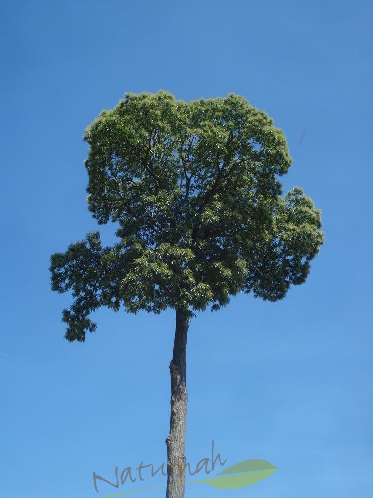 Klosterbaum mit Himmelblau