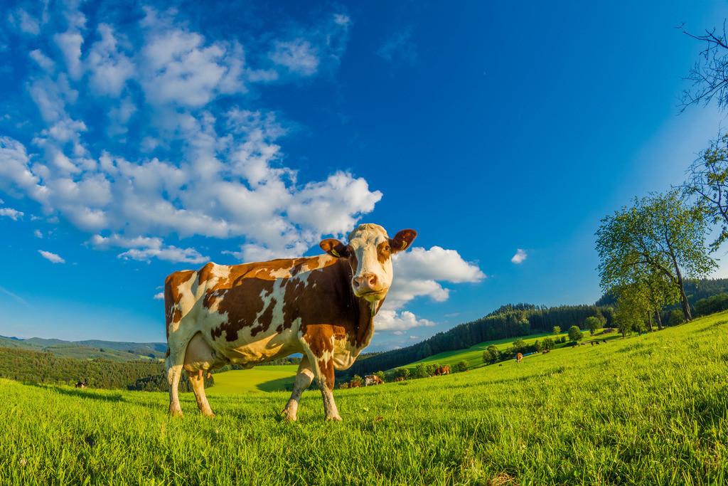 Auf Du und du mit der Schwarzwaldkuh | Schwarzwaldkuh auf saftiger Weide