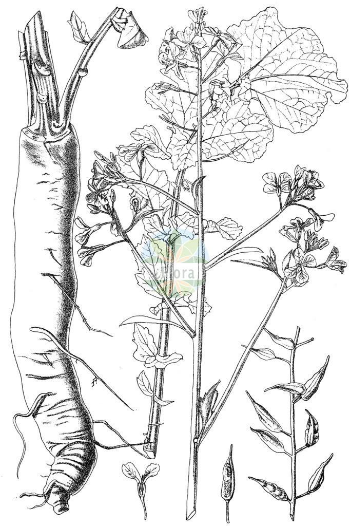 Raphanus sativus (Garten-Rettich - Garden Radish)   Historische Abbildung von Raphanus sativus (Garten-Rettich - Garden Radish). Das Bild zeigt Blatt, Bluete, Frucht und Same. ---- Historical Drawing of Raphanus sativus (Garten-Rettich - Garden Radish).The image is showing leaf, flower, fruit and seed.