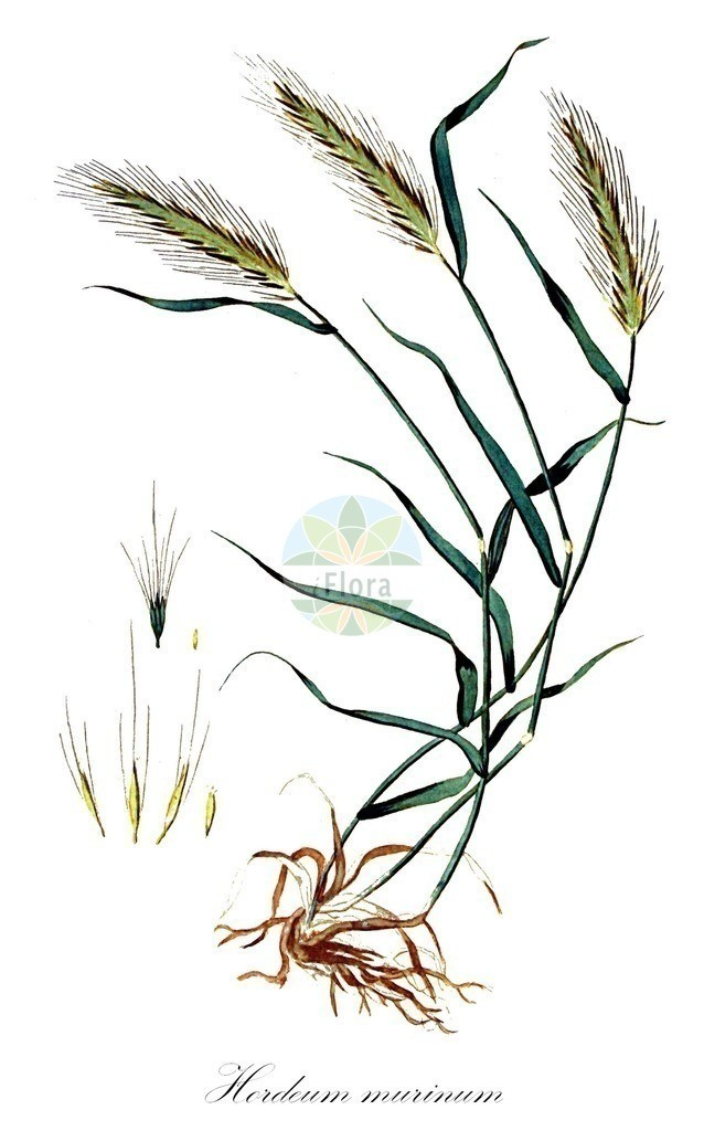 Historical drawing of Hordeum murinum (Wall Barley)   Historical drawing of Hordeum murinum (Wall Barley) showing leaf, flower, fruit, seed