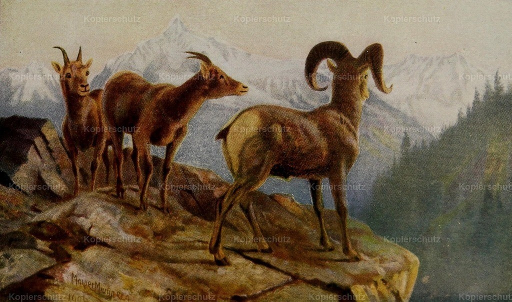 Martin_ T. Mower (1838-1934) - Canada 1907 - Mountain Sheep at home