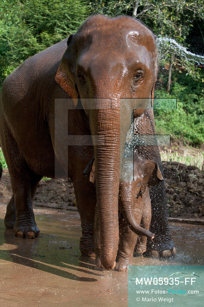 MW05935-FF | Thailand | Goldenes Dreieck | Reportage: Mahut und Elefant - Ein Bündnis fürs Leben | Elefantenmutter und ihr Baby werden von einem Mahut abgeduscht.  ** Feindaten bitte anfragen bei Mario Weigt Photography, info@asia-stories.com **