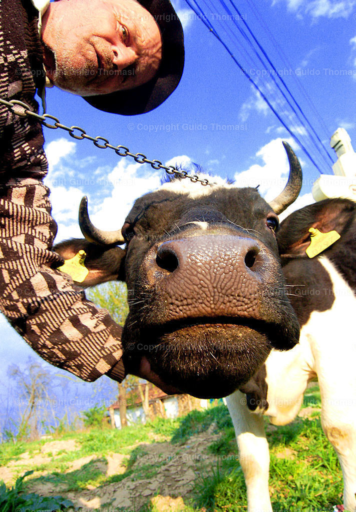 bauerw kuh agentr (2)   romänien,romania,romaenien,kuh,milchkuh,bauer,landwirt,landwirtschafft,mann,mensch,tier,fauna,himmel,blau,horn,hörner,sommer,land,bauernhof,