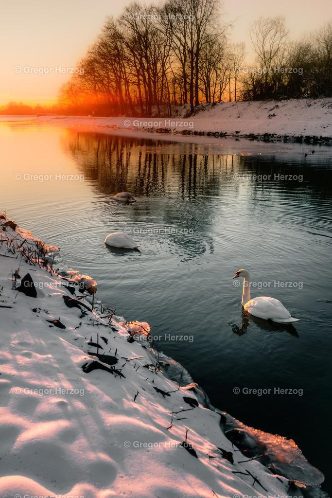 Zauberhafte Winterzeit   Schwäne im Winter 2021 am Kanal in Münster Hiltrup