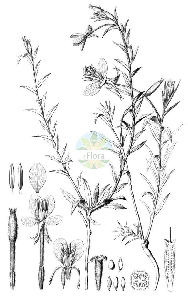 Oenothera stricta | Historische Abbildung von Oenothera stricta. Das Bild zeigt Blatt, Bluete, Frucht und Same. ---- Historical Drawing of Oenothera stricta.The image is showing leaf, flower, fruit and seed.