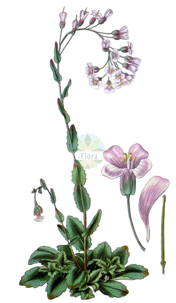Arabis collina (Huegel-Gaensekresse - Rosy Cress)   Historische Abbildung von Arabis collina (Huegel-Gaensekresse - Rosy Cress). Das Bild zeigt Blatt, Bluete, Frucht und Same. ---- Historical Drawing of Arabis collina (Huegel-Gaensekresse - Rosy Cress).The image is showing leaf, flower, fruit and seed.