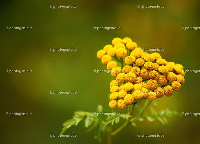 Rainfarn | herzförmige gelbe Blüte eines Rainfarn bei Tageslicht vor einem grünen Hintergrund mit Fokus auf der Blüte