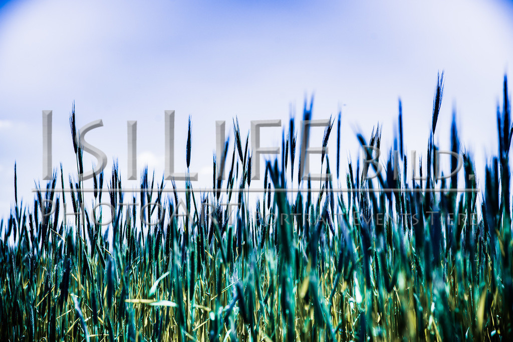 Röslau - Mittelpunkt des Fichtelgebirges   Getreide beim Fußballplatz