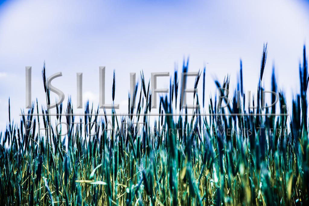 Röslau - Mittelpunkt des Fichtelgebirges | Getreide beim Fußballplatz