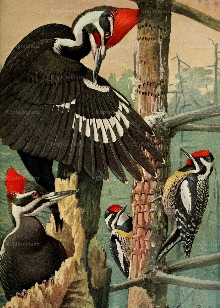 Fuertes_ L.A. (1874-1927) - Birds of Massachusetts 1925 - Woodpecker_ Sapsucker
