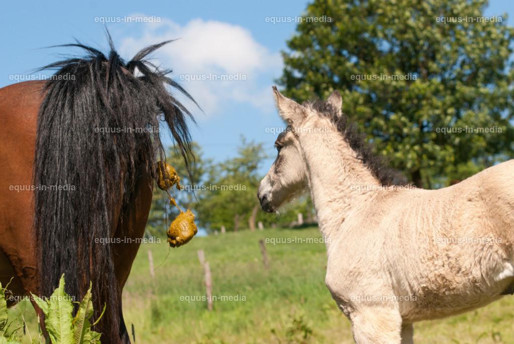 20100616-DSC_6609 | Neugieriges Curly Horse Fohlen schaut Stute beim äppeln zu