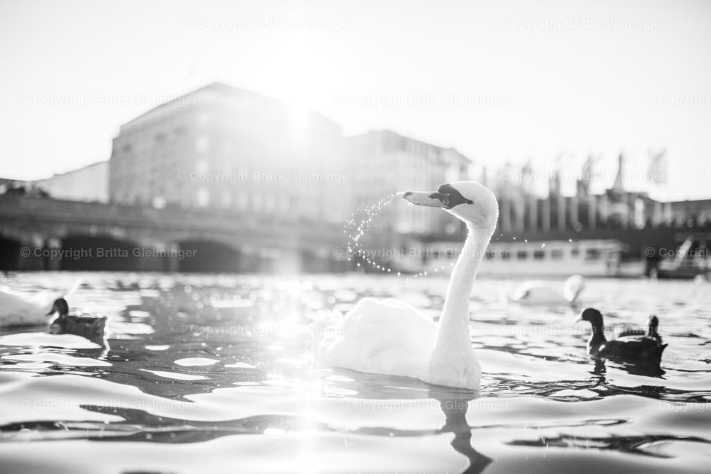 Alsterschwäne II | Alsterschwäne, Gänse, Enten und eine Vielzahl anderer Wasservögel tummeln sich auf der Binnenalster in Hamburg.