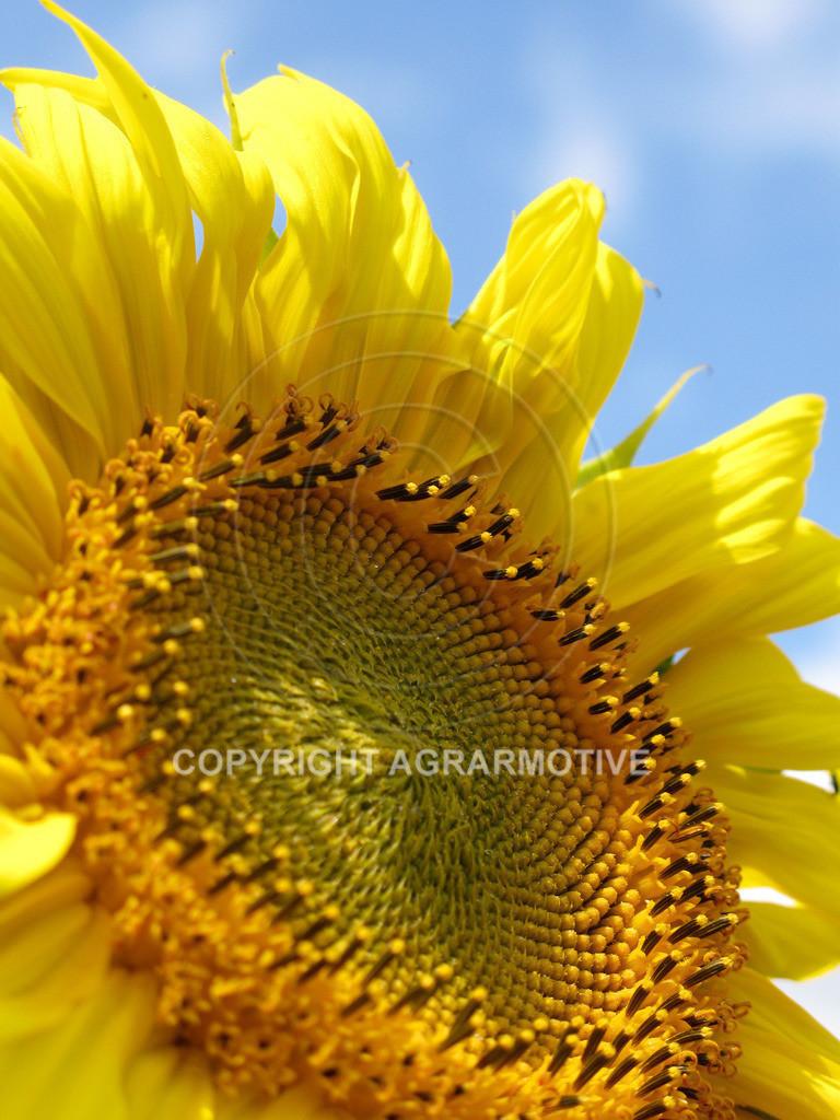 20090711-IMG_4331 | blühende Sonnenblumen im Sommer - AGRARMOTIVE Bilder aus der Landwirtschaft