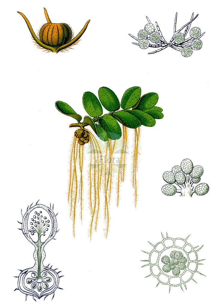 Salvinia natans (Gewoehnlicher Schwimmfarn - Floating Watermoss)   Historische Abbildung von Salvinia natans (Gewoehnlicher Schwimmfarn - Floating Watermoss). Das Bild zeigt Blatt, Bluete, Frucht und Same. ---- Historical Drawing of Salvinia natans (Gewoehnlicher Schwimmfarn - Floating Watermoss).The image is showing leaf, flower, fruit and seed.