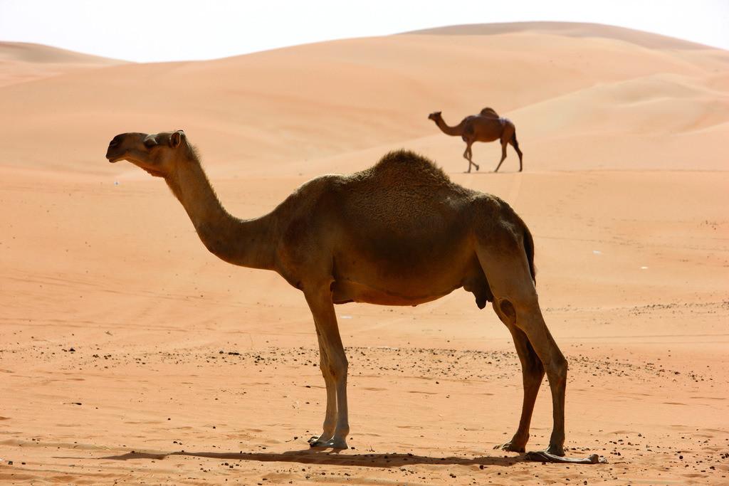 JT-110228-4491 | Kamele, die zu einer Kamelfarm gehoeren,  in der Empty Quarter genannten Wueste Rub'al-Khali, Abu Dhabi, Vereinigte Arabische Emirate.
