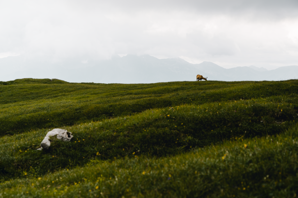 Die einsame Gams | Diese entspannte Gams wurde im Nationalpark Gesäuse geschossen (mit der Kamera natürlich). Im Hintergrund die schüchternen Gipfel von Stein am Mandl bis Hochhaide welche sich hinter den Wolken verstecken.