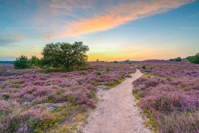 Weg durch die Heide | Abendspaziergang durch die blühende Heidelandschaft im Nationalpark Veluwezoom bei Arnheim im August.